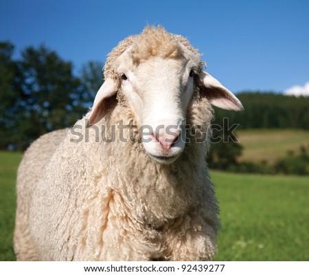 Sheep looking at camera - stock photo