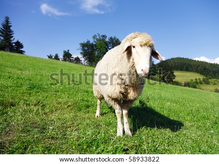 sheep looking at the camera - stock photo