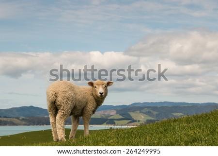 sheep looking back - stock photo