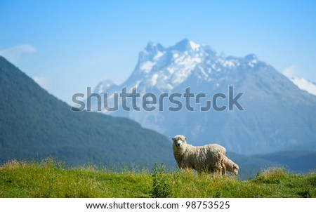 Sheep looking to camera with snow mouintain in background - stock photo