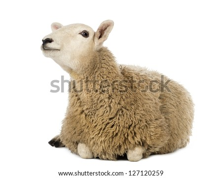 Sheep lying and looking up against white background - stock photo