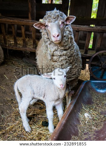 Sheep mother with lamb - stock photo