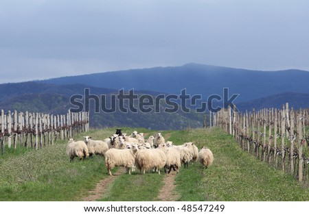 sheep near vineyards - stock photo