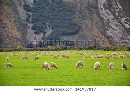 Sheep, New Zealand - stock photo