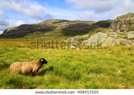 sheep Norway lysefjord fjord stavanger - stock photo