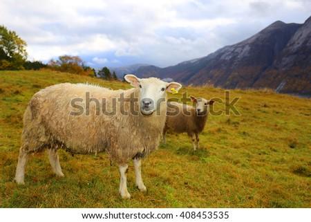 sheep Norway lysefjord stavanger - stock photo