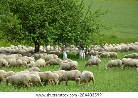 sheep of flock - stock photo