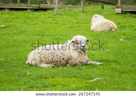 Sheep of the Lincolnshire Long Wool breed happilygrazing in a field in Somerset. Idyllic setting. - stock photo