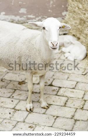 Sheep on a farm, detail of a mammalian animals in captivity - stock photo