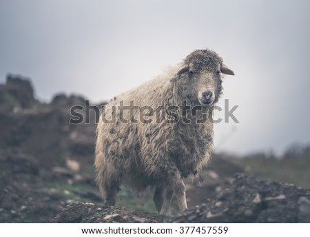 Sheep on a pasture in the mountains - stock photo
