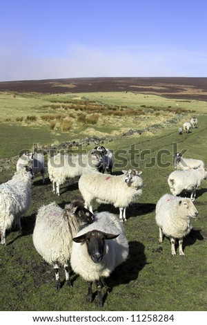 Sheep On A U.K. Farm - stock photo