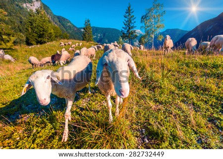 Sheep on alpine pasture in sunny summer day. Triglav National Park, Juliann Alps, Slovenia, Europe. Instagram toning. - stock photo