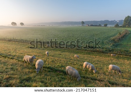 Sheep on an early morning in autumn with remnants of fog in the background - stock photo