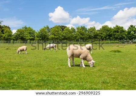Sheep on beautiful english field - stock photo