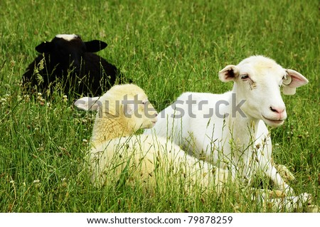 Sheep on family farm, ewe and lambs, Webster County, West Virginia, USA.  Sheep breed is Katahdin and Barbados Blackbelly mix. - stock photo