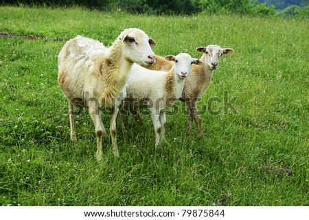 Sheep on family farm, ewe with two half-grown lambs, Webster County, West Virginia, USA.  Sheep breed is Katahdin and Barbados Blackbelly mix.