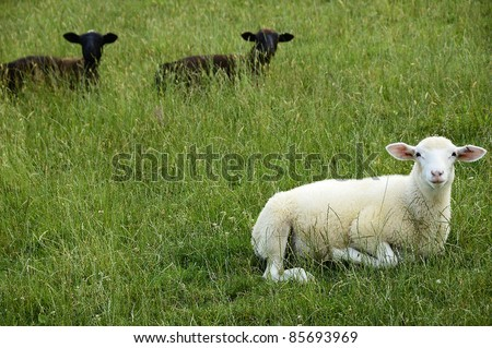 Sheep on family farm, Webster County, West Virginia, USA.  Sheep breed is Katahdin and Barbados Blackbelly mix.