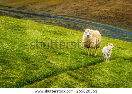 sheep on field Iceland background - stock photo