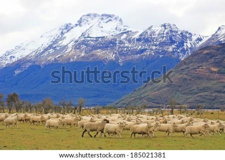 sheep on field , New Zealand - stock photo