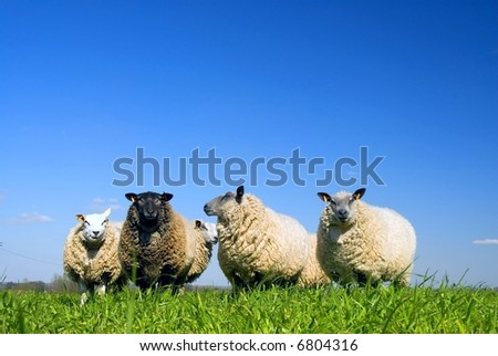 Sheep on grass with blue sky. Some of them are looking at the lens - stock photo