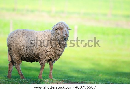 Sheep on green field - stock photo