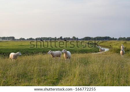 sheep on green pasture in sunset sunlight - stock photo