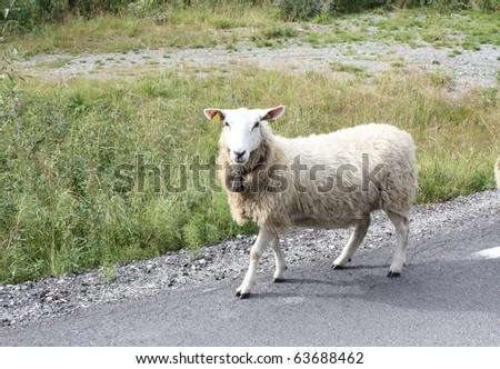 sheep on highway - stock photo