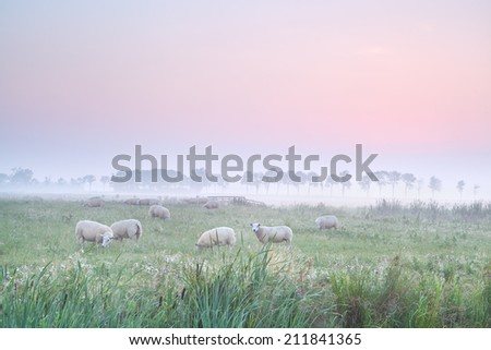 sheep on pasture at foggy sunrise, Holland