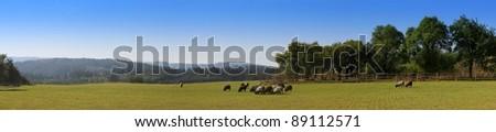 Sheep on pasture, Czech village, panorama - stock photo