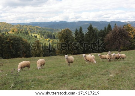 sheep on pasture, national protected area Beskydy, Czech republic, Europe - stock photo