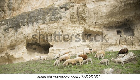 Sheep on rocky volcanic landscape Herd of flocks in the Mountains stone texture walking and eating on fresh spring green grass  - stock photo