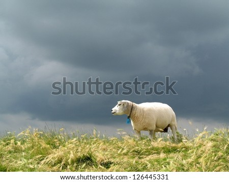 sheep on the dike under a dark sky