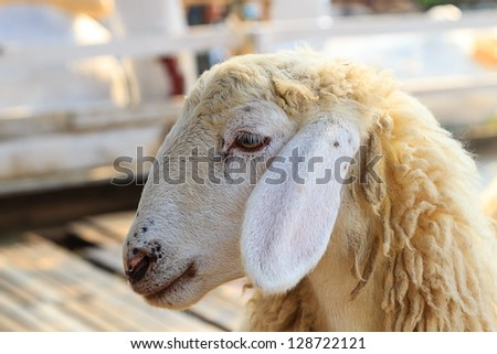 Sheep on the farm - stock photo