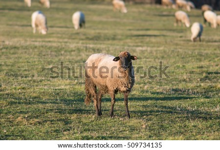 Sheep on the fileds
