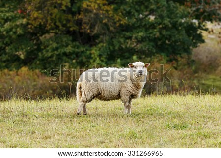 Sheep on the grass with autumn background