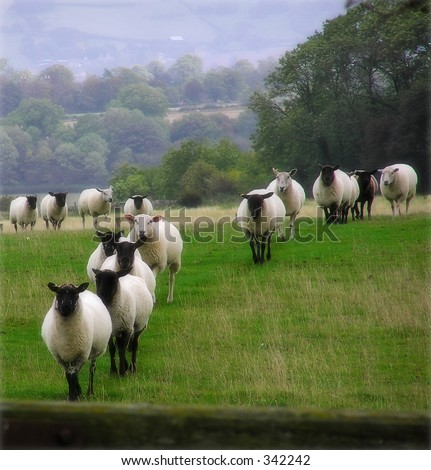 Sheep on the landscape taken in Somerset England - stock photo