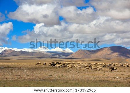 Sheep on Tibetan plateau on the grassland with snowy peaks of the Himalayas in the background - stock photo
