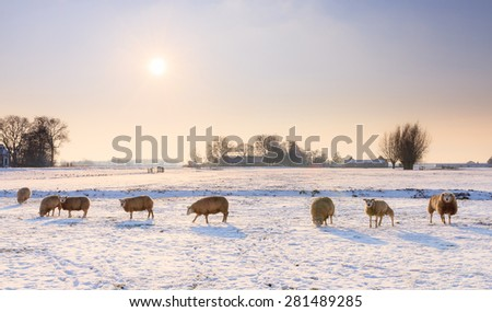 Sheep (Ovis aries) in snow white winter landscape at sunset in the Netherlands - stock photo