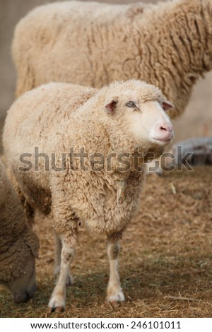 Sheep Portrait - stock photo