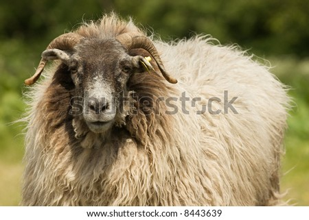 Sheep Portrait