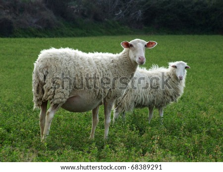 Sheep - Pregnant or Nursing Ewe in front. - stock photo