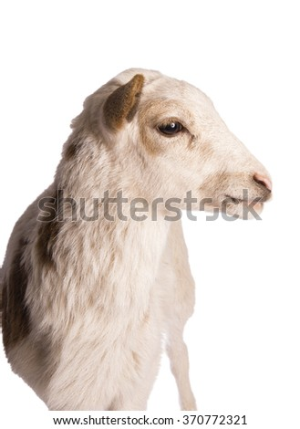Sheep profile head shot isolated - stock photo