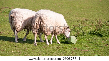 Sheep pushing their toy around in order to get the food out. - stock photo