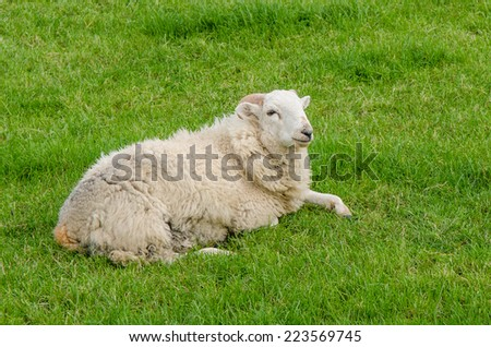 Sheep relaxes on the green grass  - stock photo