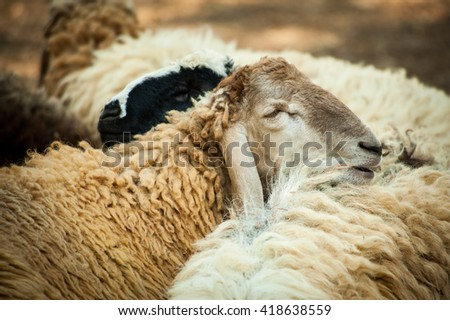 Sheep relaxing at afternoon in rural farm.  - stock photo