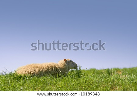 Sheep relaxing in the grass on a sunny day in spring time. - stock photo