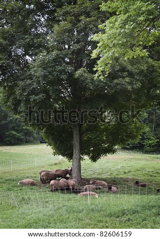 Sheep resting under a tree - stock photo