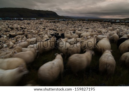 Sheep round-up, Iceland - stock photo