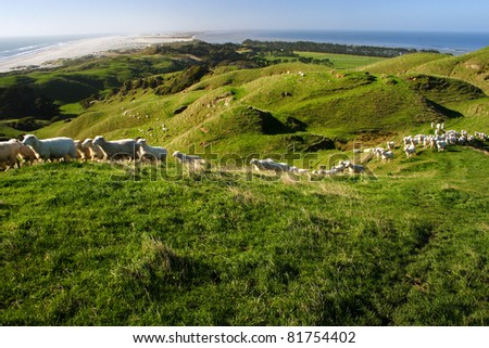 Sheep running along the slopes above Farewell Spit on the South island of New Zealand - stock photo
