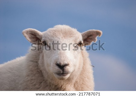 Sheep's face showing an ear that has been damaged by farming practices. - stock photo
